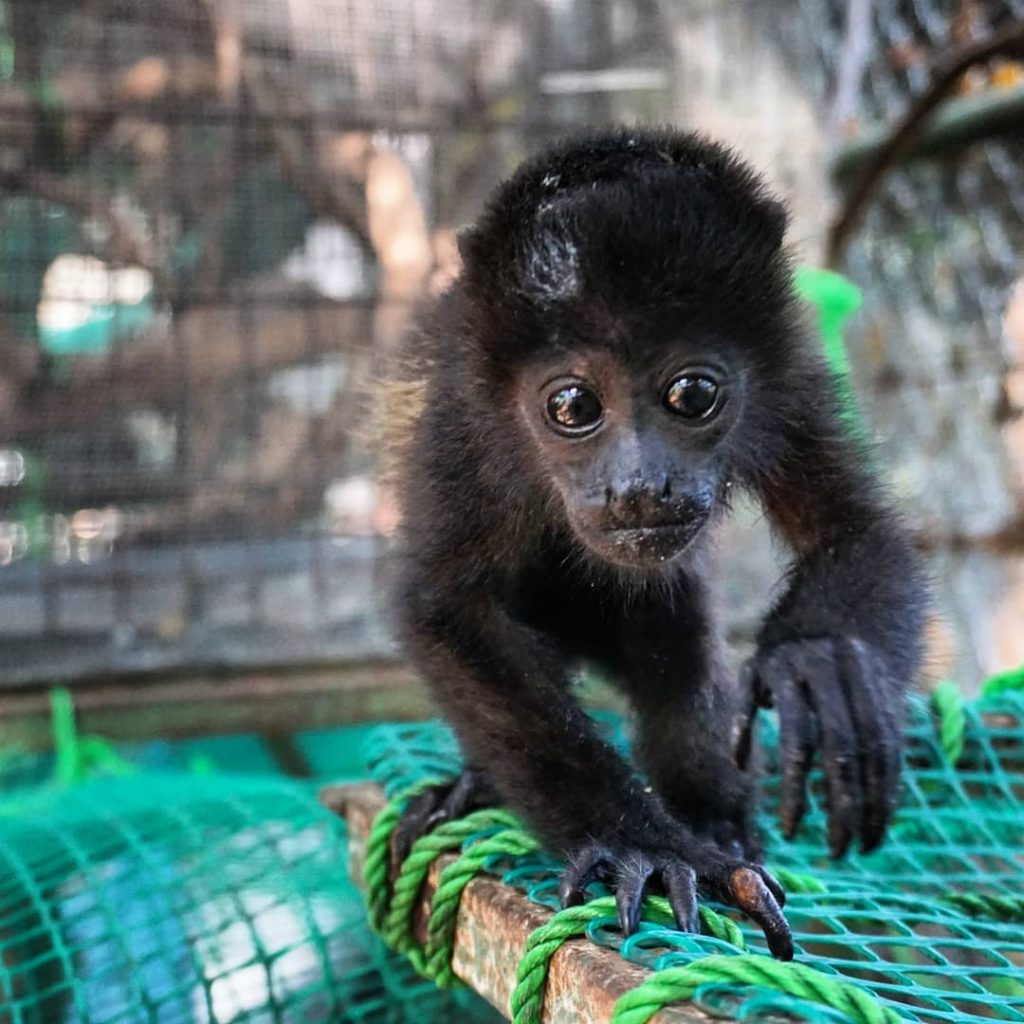 Aapje in het SIBU Wildlife Sanctuary